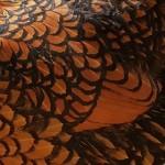 Flügelschild einer 0,1 gelb schwarz gesäumte Zwerg Wyandotte